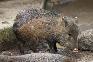 photo,material,free,landscape,picture,stock photo,Creative Commons,Collared peccary, wild boar, , , peccary