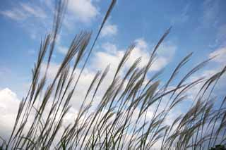 photo,material,free,landscape,picture,stock photo,Creative Commons,A Japanese pampas grass and a blue sky, Japanese pampas grass, , ,