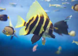 photo,material,free,landscape,picture,stock photo,Creative Commons,Tropical fish, Swimming, Tropical fish, Black, Yellow