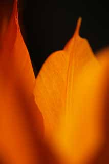 photo,material,free,landscape,picture,stock photo,Creative Commons,It is flame in spring, , tulip, petal, In spring
