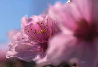 photo,material,free,landscape,picture,stock photo,Creative Commons,Peach blossom, peach, , , flower