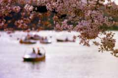 photo,material,free,landscape,picture,stock photo,Creative Commons,Cherry blossoms on the waterside, cherry blossom, pink, pond,