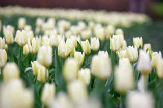 photo,material,free,landscape,picture,stock photo,Creative Commons,A tulip field, , tulip, flower bed, flower