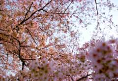 photo,material,free,landscape,picture,stock photo,Creative Commons,Cherry-blossom-colored sky, cherry blossom, pink, ,