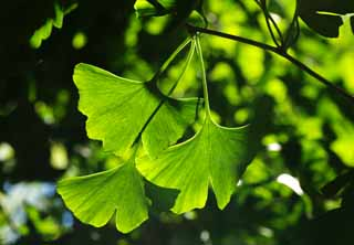 photo,material,free,landscape,picture,stock photo,Creative Commons,The young leave of the ginkgo, ginkgo, ginkgo, young leave, young leave