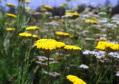 photo,material,free,landscape,picture,stock photo,Creative Commons,Flowered hill, yellow, , ,