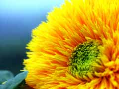 photo,material,free,landscape,picture,stock photo,Creative Commons,Double-flowered sunflower, yellow, sunflower, ,