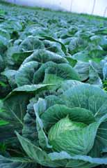 photo,material,free,landscape,picture,stock photo,Creative Commons,Cabbage field, morning, green, vegetable,