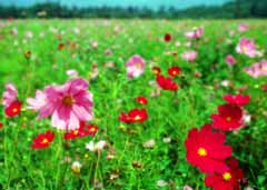 photo,material,free,landscape,picture,stock photo,Creative Commons,Cosmos field, red, pink, ,