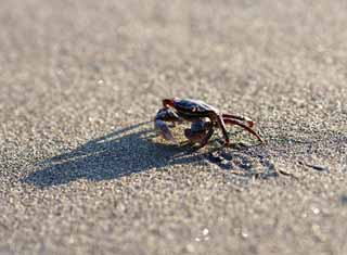 photo,material,free,landscape,picture,stock photo,Creative Commons,Sand crabs, Crab, , , Shadow