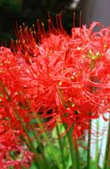 photo,material,free,landscape,picture,stock photo,Creative Commons,Crimson cluster-amaryllis, red, , ,
