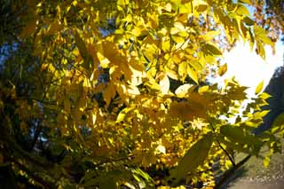 photo,material,free,landscape,picture,stock photo,Creative Commons,Zelkova changing colors, Yellow, Leaves, Branch, Autumn color