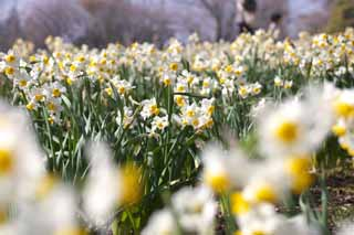photo,material,free,landscape,picture,stock photo,Creative Commons,Narcissus flower bed, SUISEN, Narcissus, , Yellow