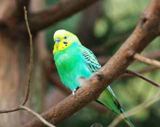photo,material,free,landscape,picture,stock photo,Creative Commons,Budgerigar, Parakeet, This meteoric, , Wing