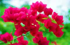 photo,material,free,landscape,picture,stock photo,Creative Commons,Bougainvillea, red, green, ,