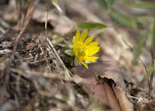 photo,material,free,landscape,picture,stock photo,Creative Commons,Far East Amur adonis, Amur adonis, Yellow, Spring, Ground