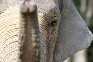 photo,material,free,landscape,picture,stock photo,Creative Commons,Asian elephant, The Elephant, Elephant, , Long nose
