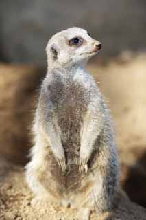 photo,material,free,landscape,picture,stock photo,Creative Commons,Meerkat, Warning, TIMON, Meerkat, Small animals