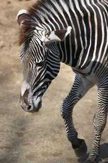 photo,material,free,landscape,picture,stock photo,Creative Commons,Grevy's zebra, Zebra, , Grazing animal, Striped