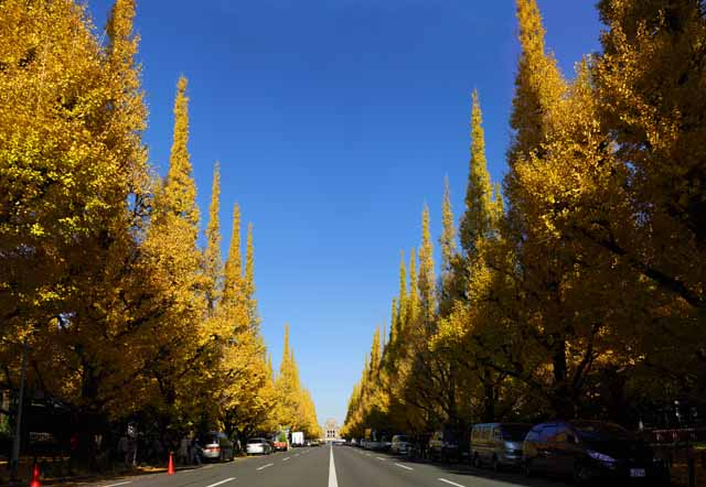 photo,material,free,landscape,picture,stock photo,Creative Commons,An outer garden ginkgo row of trees, ginkgo, , Yellow, roadside tree