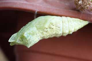 photo,material,free,landscape,picture,stock photo,Creative Commons,The pupa of the common yellow swallowtail, butterfly, , pupa,