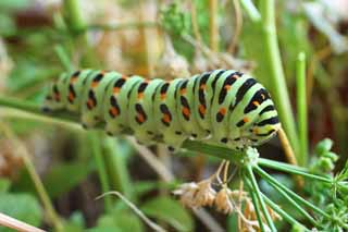 photo,material,free,landscape,picture,stock photo,Creative Commons,The larva of the common yellow swallowtail, butterfly, , green caterpillar,