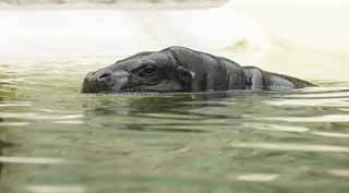 photo,material,free,landscape,picture,stock photo,Creative Commons,A pygmy hippopotamus, hippopotamus, Hippo, , Swimming