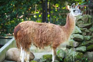 photo,material,free,landscape,picture,stock photo,Creative Commons,A lama, , Lightness, , domestic animal