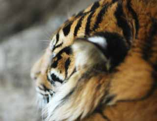 photo,material,free,landscape,picture,stock photo,Creative Commons,The nap of the tiger, tiger, , ,