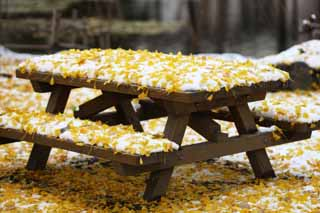 photo,material,free,landscape,picture,stock photo,Creative Commons,The lively bench of snow and the ginkgo, Colored leaves, ginkgo, Yellow, table