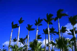 photo,material,free,landscape,picture,stock photo,Creative Commons,Palm trees against the blue sky, cloud, grove, ,