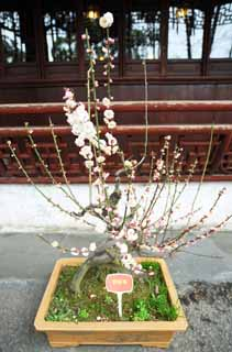 photo,material,free,landscape,picture,stock photo,Creative Commons,The flower of the Yuyuan Garden plum, Joss house garden, , way of branch, bonsai