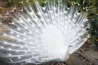 photo,material,free,landscape,picture,stock photo,Creative Commons,A white peacock, peacock, , white peacock, feather