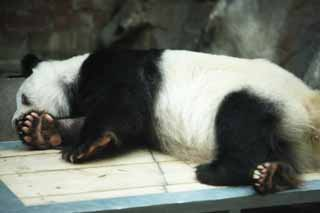 photo,material,free,landscape,picture,stock photo,Creative Commons,Giant panda, panda, , I am pretty, nap