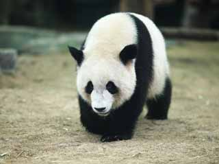 photo,material,free,landscape,picture,stock photo,Creative Commons,Giant panda, panda, , I am pretty, walk