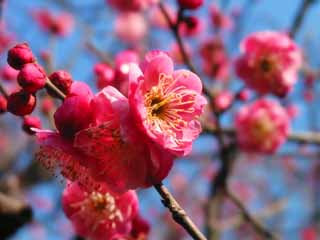 photo,material,free,landscape,picture,stock photo,Creative Commons,Cheerful red plum blossoms, plum, red plum, ,