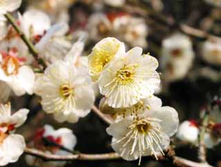 photo,material,free,landscape,picture,stock photo,Creative Commons,White plum in full bloom, plum, , ,