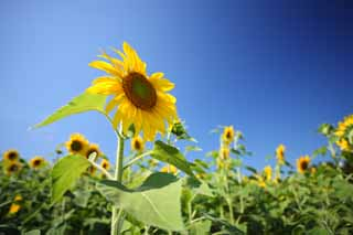 photo,material,free,landscape,picture,stock photo,Creative Commons,The sunflower of the one side, sunflower, , ,