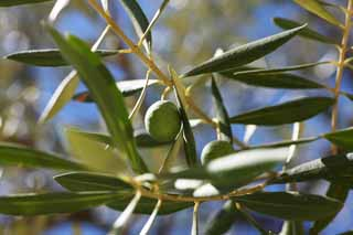 photo,material,free,landscape,picture,stock photo,Creative Commons,An olive, An olive, Solar light, Fruit, Olive oil