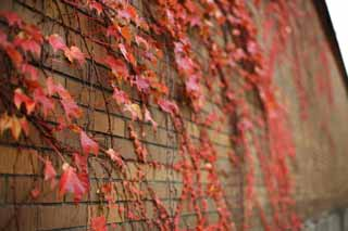 photo,material,free,landscape,picture,stock photo,Creative Commons,A wall of the ivy, Ivy, Colored leaves, brick,