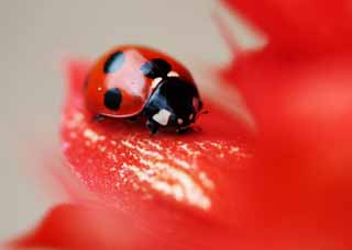 photo,material,free,landscape,picture,stock photo,Creative Commons,Ladybug, Furano, flower, insect, ladybug