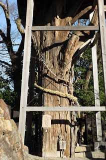 photo,material,free,landscape,picture,stock photo,Creative Commons,Inuyama-jo Castle Osugi, sacred tree, The bark, big tree, castle