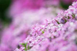 photo,material,free,landscape,picture,stock photo,Creative Commons,Moss phlox on a bank, Furano, flower, moss phlox,