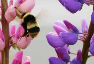photo,material,free,landscape,picture,stock photo,Creative Commons,Bee flying away, bee, lupine, flower, insect