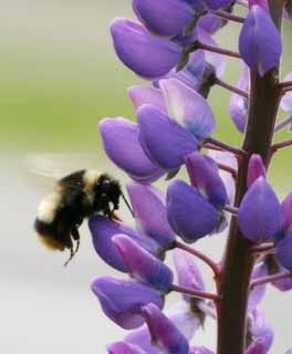 photo,material,free,landscape,picture,stock photo,Creative Commons,Lupine and a bee, bee, lupine, flower, insect