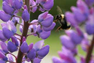 photo,material,free,landscape,picture,stock photo,Creative Commons,Picture including a bee, bee, lupine, flower, insect