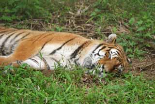photo,material,free,landscape,picture,stock photo,Creative Commons,Tiger fast asleep, tiger, , ,
