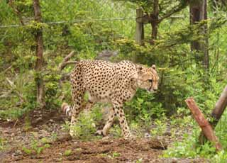 photo,material,free,landscape,picture,stock photo,Creative Commons,Walking cheetah, cheetah, , ,