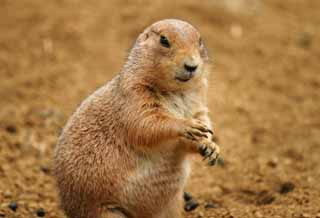 photo,material,free,landscape,picture,stock photo,Creative Commons,Prairie dog, rodent, soil, ,