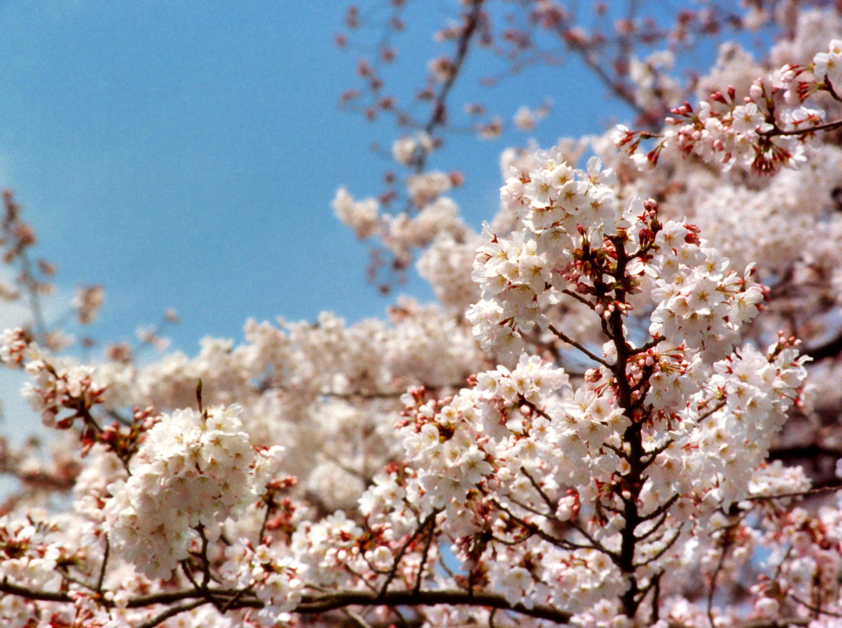 ゆんフリー写真素材集 No 418 春の陽桜 日本 東京